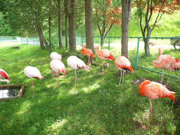 旭山動物園フラミンゴ